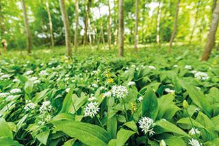 Dominiert im Frühling das Bild in den heimischen Auwäldern: der Bärlauch.